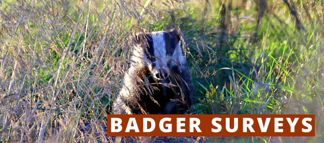 Badger Surveys from Wild Surveys