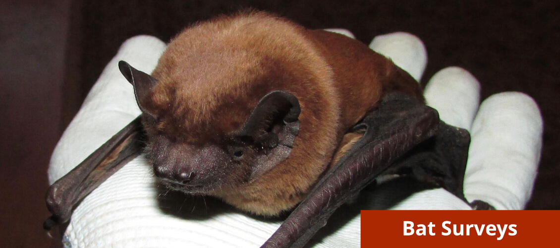 Bat Surveys from Wild Surveys
